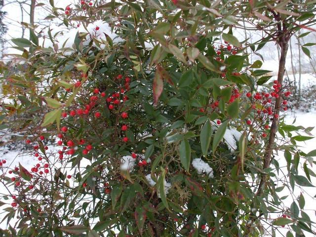 red bush kentucky