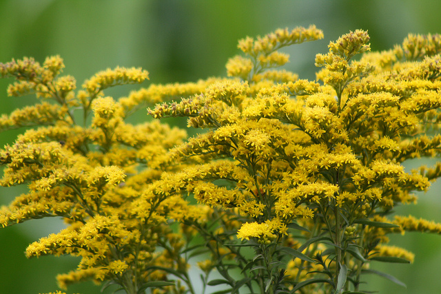 """Goldenrod, Kentucky's state flower """"While the pollen from the Goldenrod flower makes some people sneeze, it is very pretty,"""" ..."""