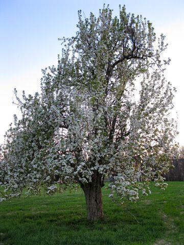 Image result for kieffer pear blossoms