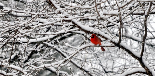 birds of kentucky american cardinal in snow covered tree on