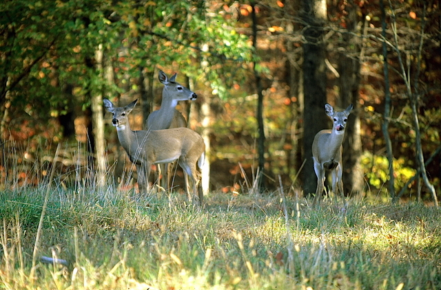 Ky fish wildlife monitoring deer herd health on for Fish and wildlife ky
