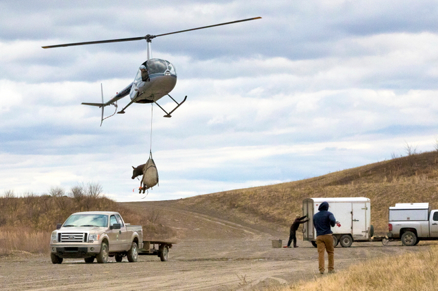 Incoming elk arrives by helicopter at bell co ky site on for Kentucky fish and wildlife phone number