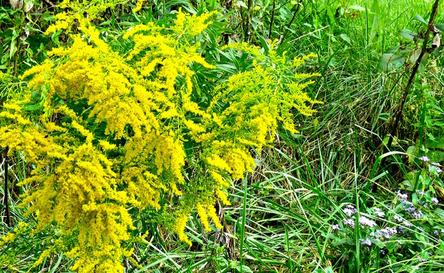 Goldenrod is eloquently defending it's title as the State Flower of Kentucky, with dazzlng shows of color all over South ...